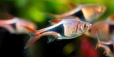 Ikan hias aquascape Rasbora Harlequin