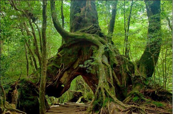 Hutan Yakushima 2