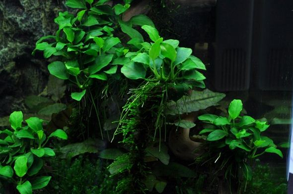 Tanaman air Aquascape Anubias Nana