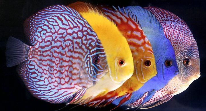Ikan Hias Air Tawar Termahal Discus