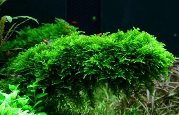 jenis tanaman Aquascape Moss