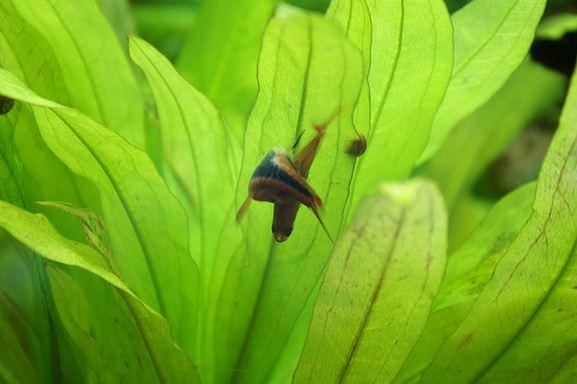 Manfaat tanaman air bagi akuarium