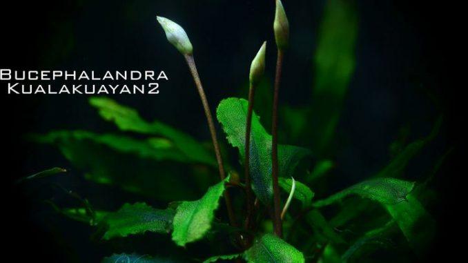 bucephalandra-kualakuayan-2