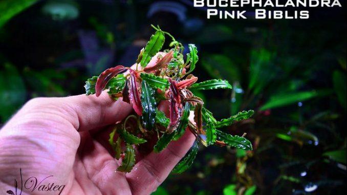 bucephalandra-pink-bilbis