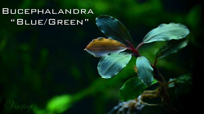 bucephalandra-blue-green