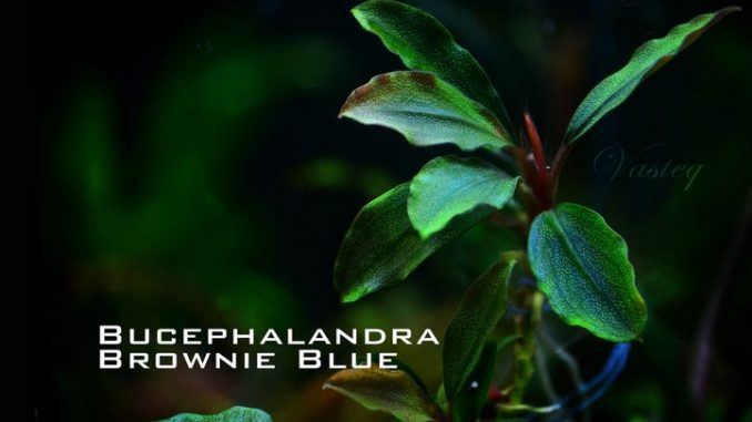 bucephalandra-brownie-blue