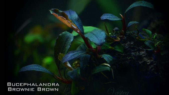 bucephalandra-brownie-brown-2