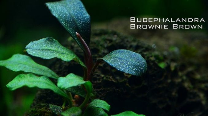 bucephalandra-brownie-brown