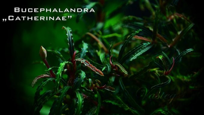 bucephalandra-catherinae