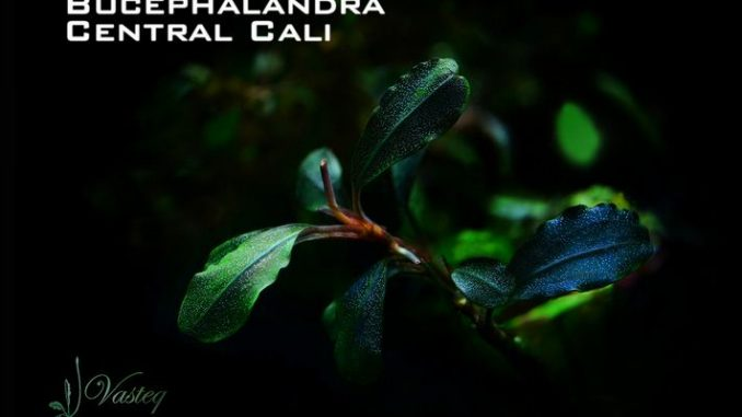 bucephalandra-central-cali