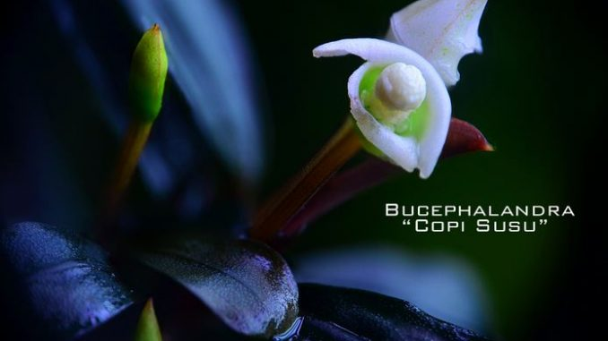 bucephalandra-copi-susu
