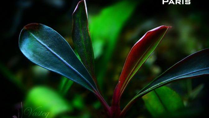 bucephalandra-paris