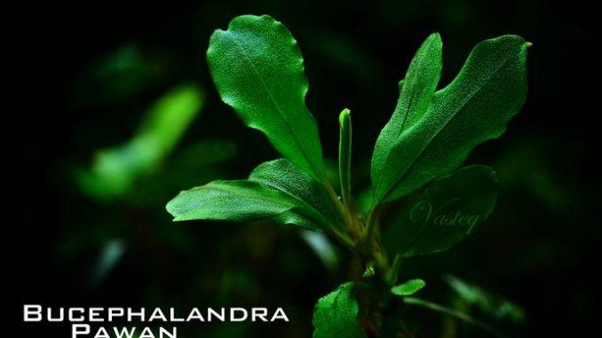 bucephalandra-pawan