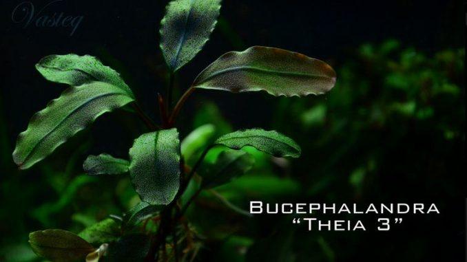 bucephalandra-theia-3