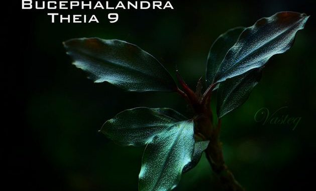 bucephalandra-theia-9