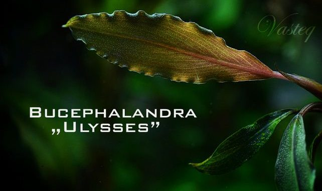 bucephalandra-ulysses