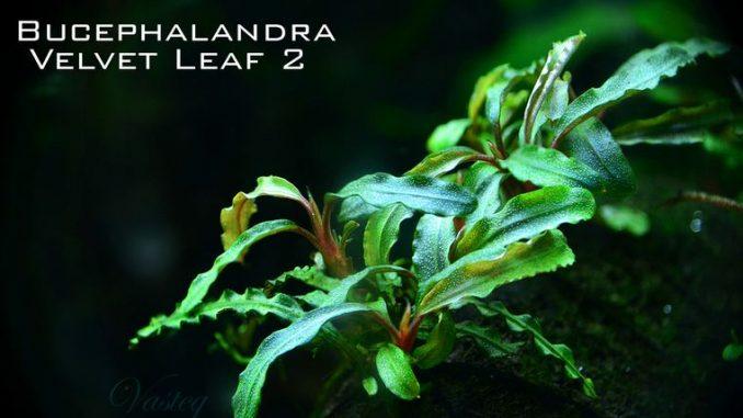 bucephalandra-velvet-leaf-2