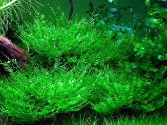 tanaman moss peacock moss