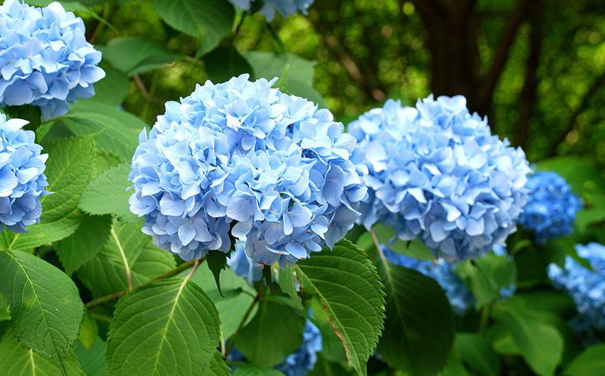 Hydrangea Bunga Taman