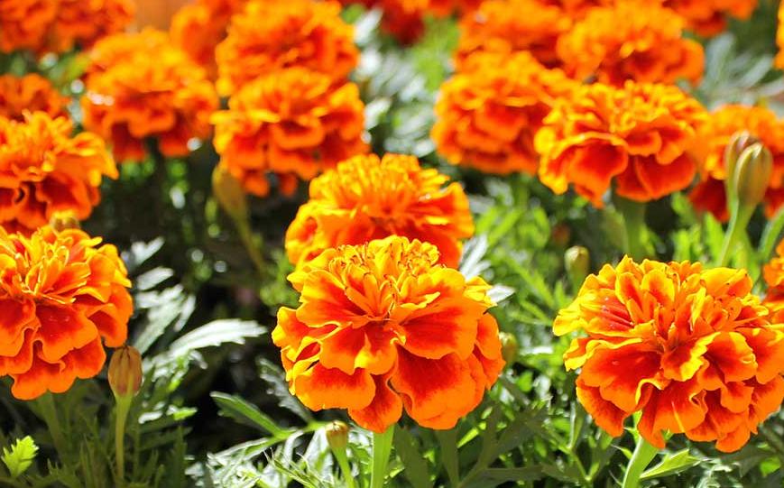 Marigolds Bunga Taman