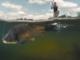 Umpan Ikan Tombro Ikan Mas